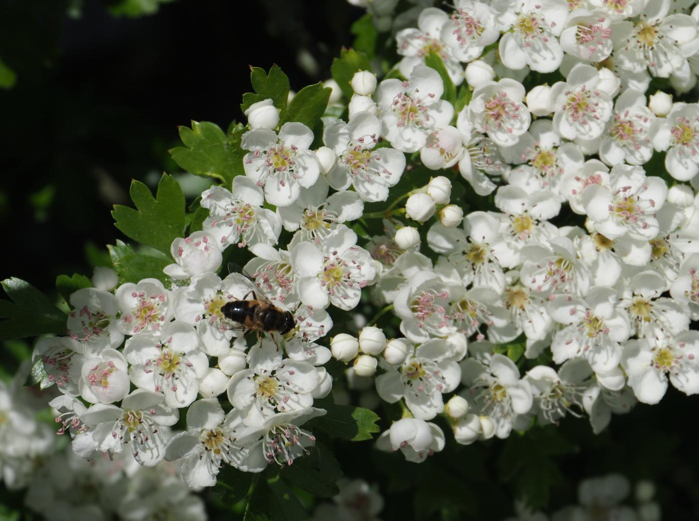 Bee Blossom