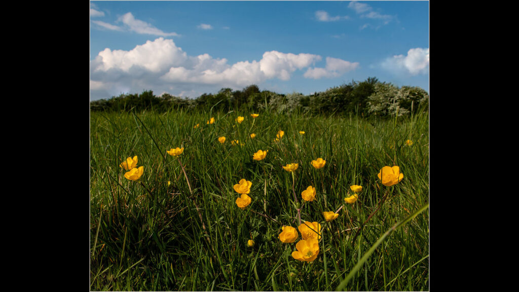 Buttercups and May