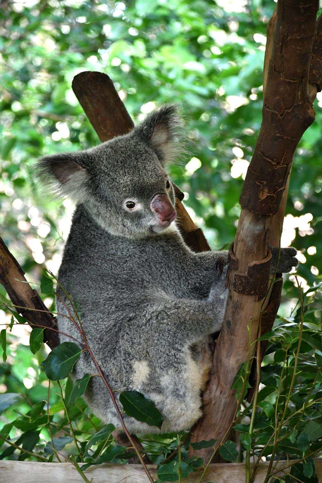"Ester Riordan - ""Koala"""