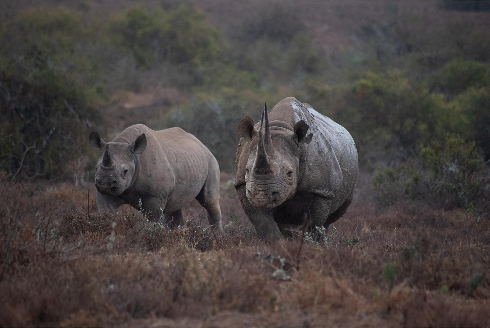 "Ian Luckett - ""Rhinos at Kwandwe"""