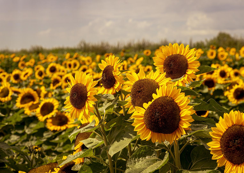 "Ester Riordan - ""Sunflower at Sunset"""