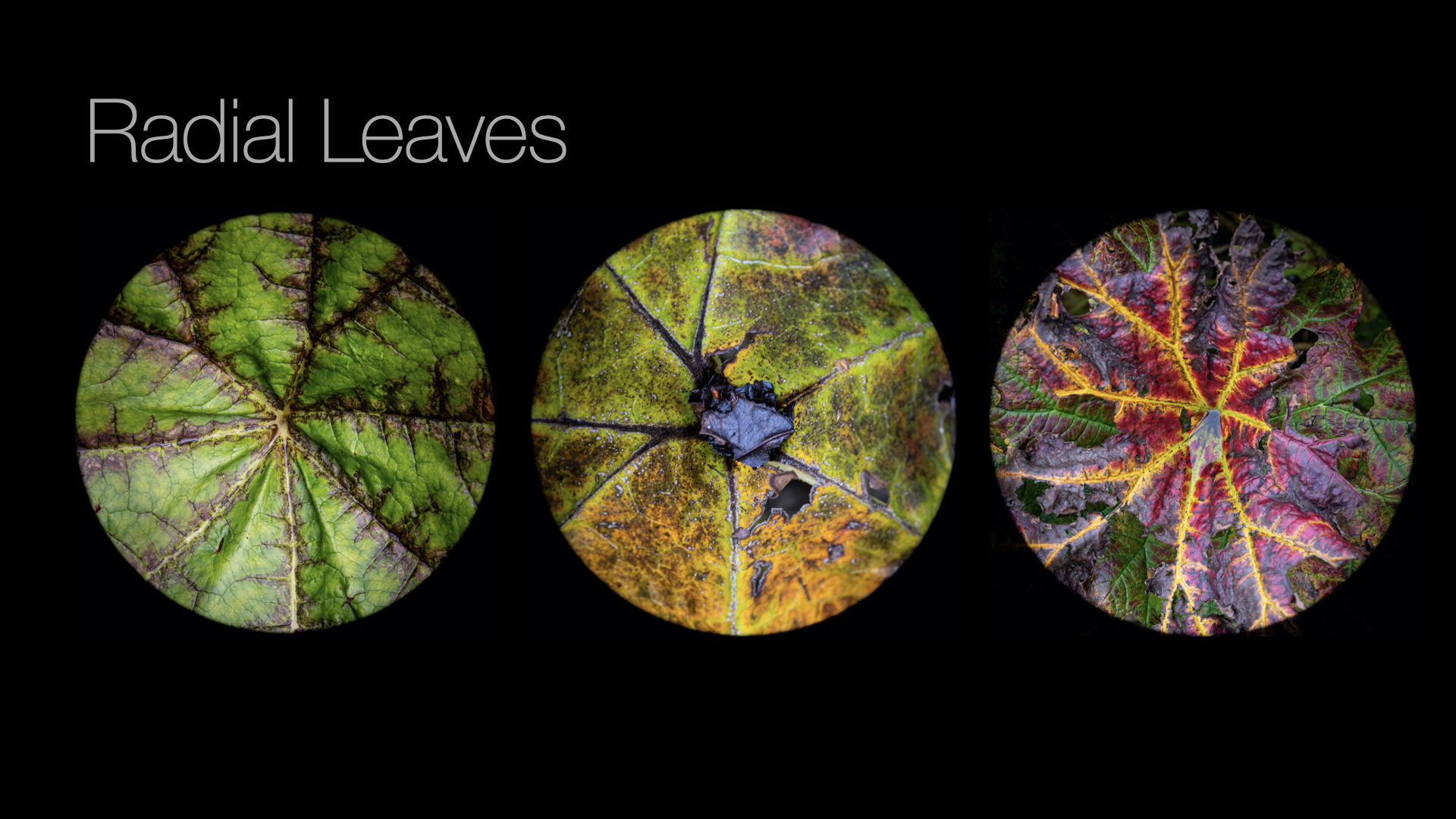 Radial Leaves.006