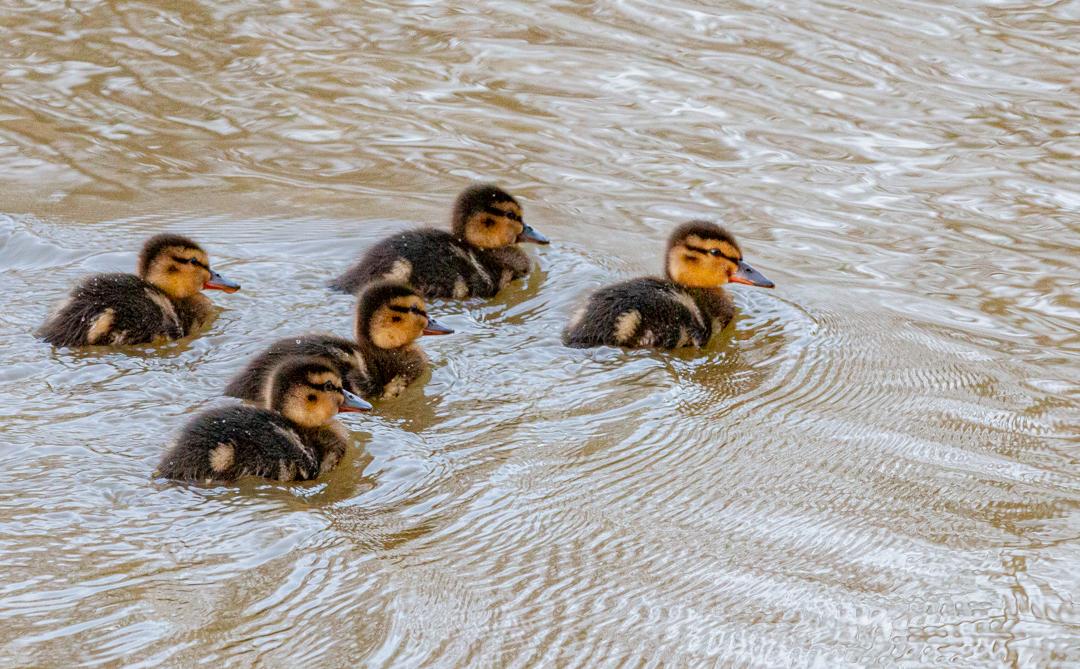 Five Little Ducks-1