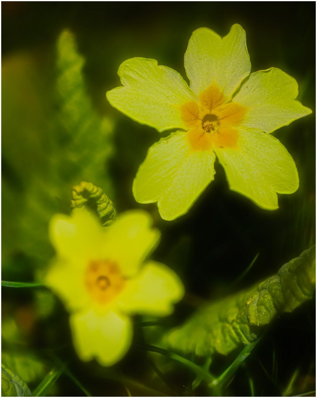 Primrose-in-Spring